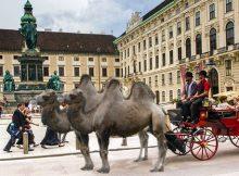 Wiener Fiaker mit Kamelen