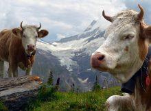 Kühe auf Alm