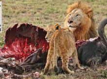 Löwen fressen Büffel