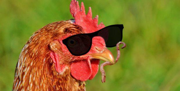 Blindes Huhn findet sensationell einen Wurm
